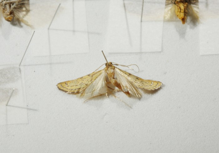 Spreading Microlepidoptera | The Skeptical Moth