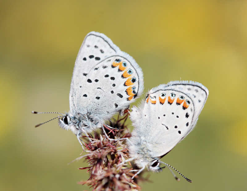 Grinter Plebejus acmon mating