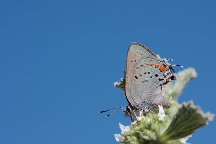 Grinter Satyrium californica cygnus