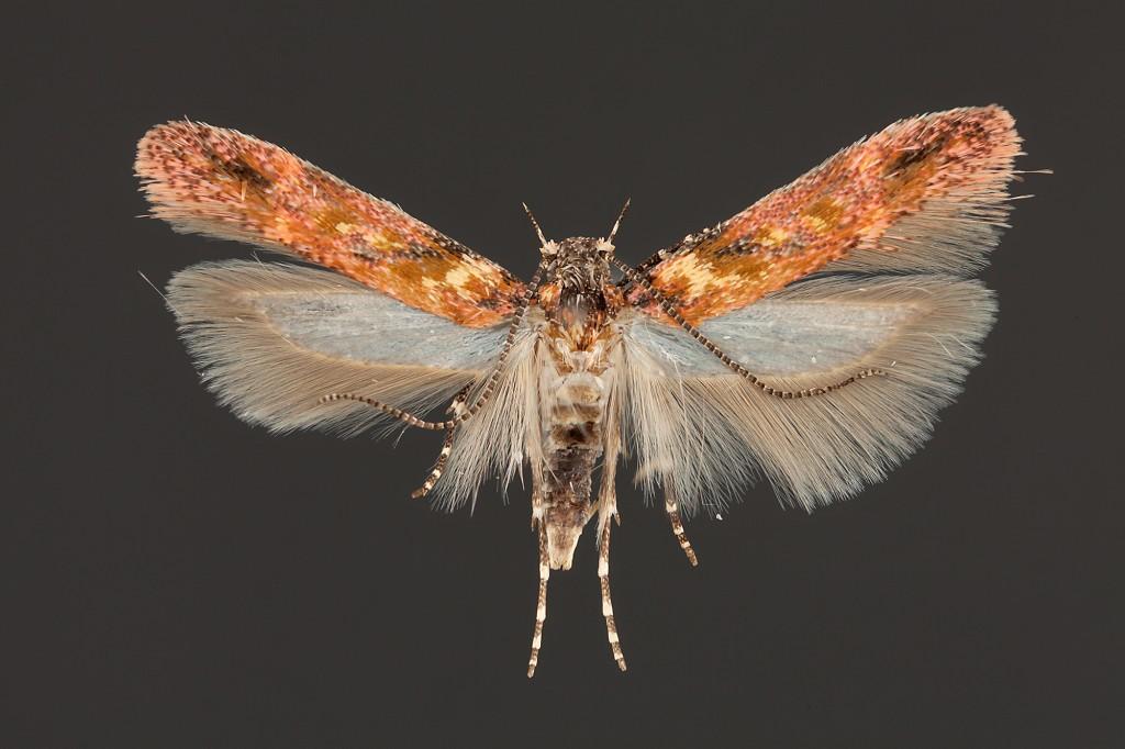 Gelechiidae small